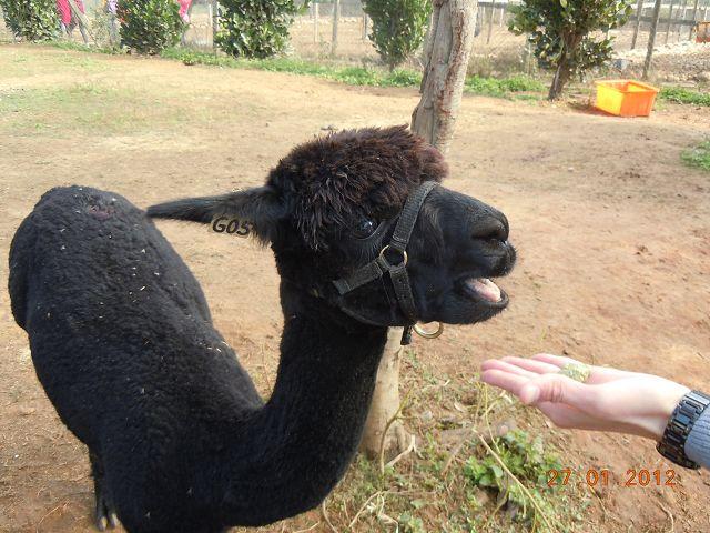 结精心饲养许多可爱的动物,里头最有名因为谐音而爆红「草泥马」羊驼